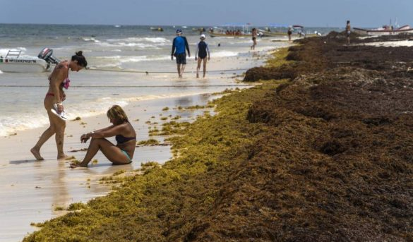 El Caribe mexicano se ahoga en sargazo