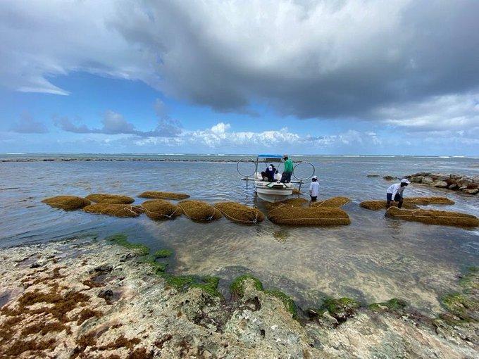 Gran operativo en Punta Cana recogiendo el sargazo en la playa