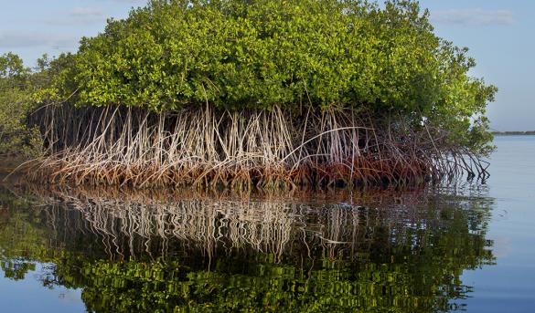 Extraordinaria foto, extraordinaria muestra de la madre naturaleza, una de las cuatro variedades de Mangle de República Dominicana