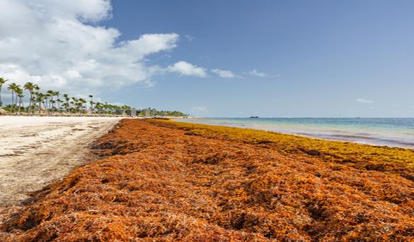 Alrededor de 45 playas estarían afectadas por el sargazo en la costa Este